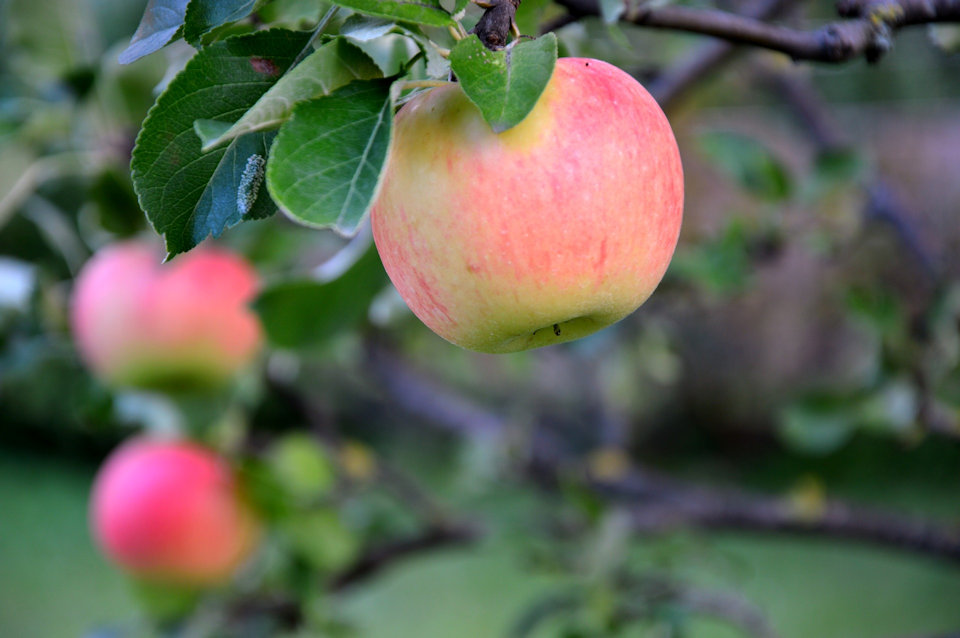Apple ripe for picking