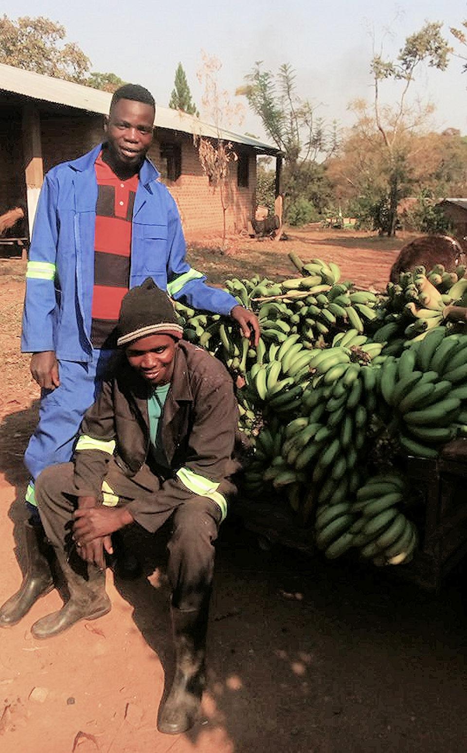 Banana harvest in Zambia
