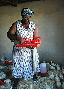 Chickens provide a food source in the face of disaster.